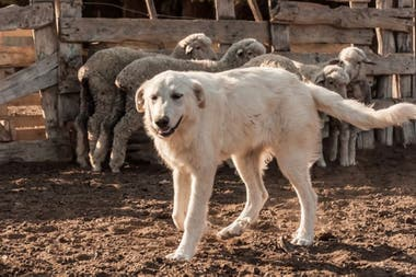Los perros se relacionan muy bien con las ovejas y las cuidan de los predadores