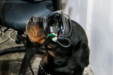 La gafa especial no es una tecnología con la que el perro pueda interactuar, sino que se utiliza para facilitar la comunicación entre el guía y el animal