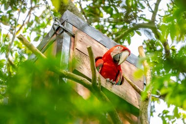 Nioky en su caja nido; el guacamnayo fue liberado en 2015